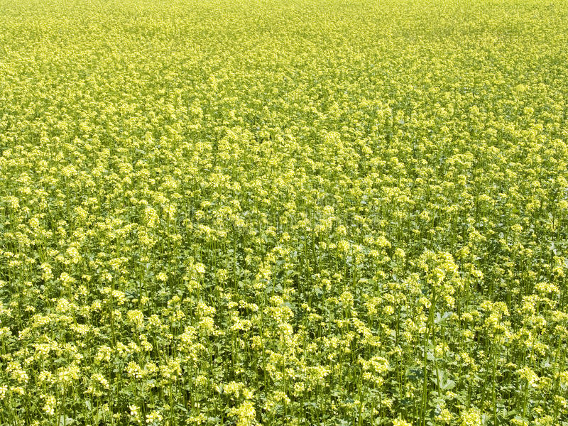 Download Field stock image. Image of ground, field, oilseed, industry - 25450865