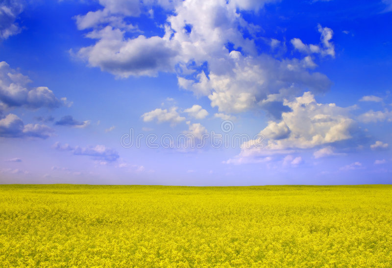 Canola. Beautyful view of field royalty free stock photos