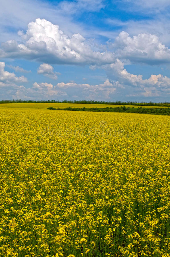 Field. This is a rural spring landscape with ripe field. Yellow bright field and blue sky are life-asserting royalty free stock photo