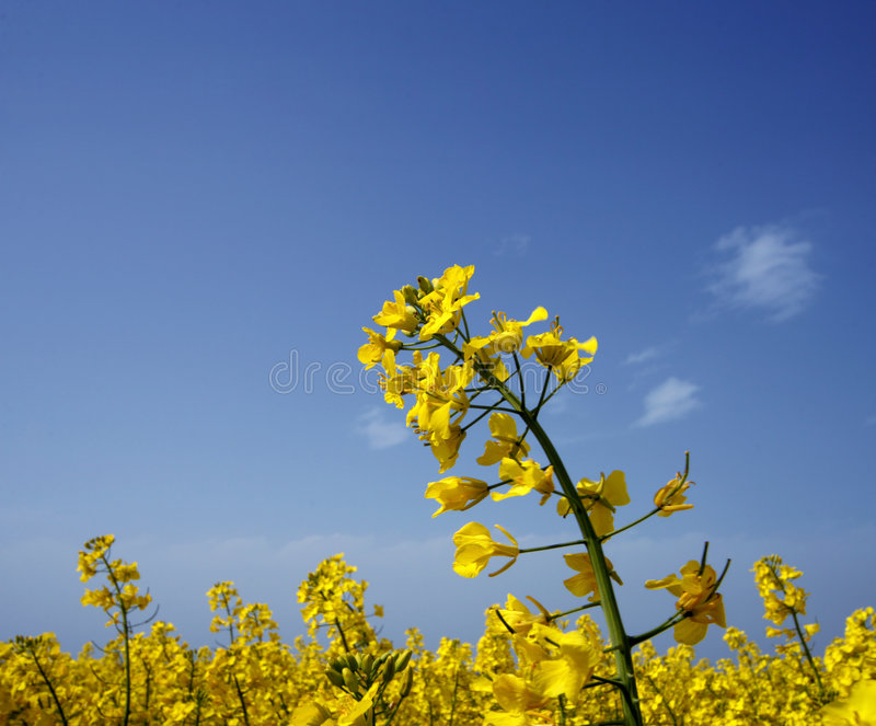 Download Field stock image. Image of blue, beautiful, golden, color - 5268029