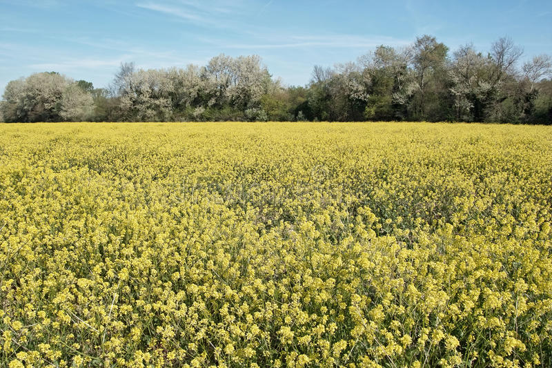 Field In Bloom Royalty Free Stock Images