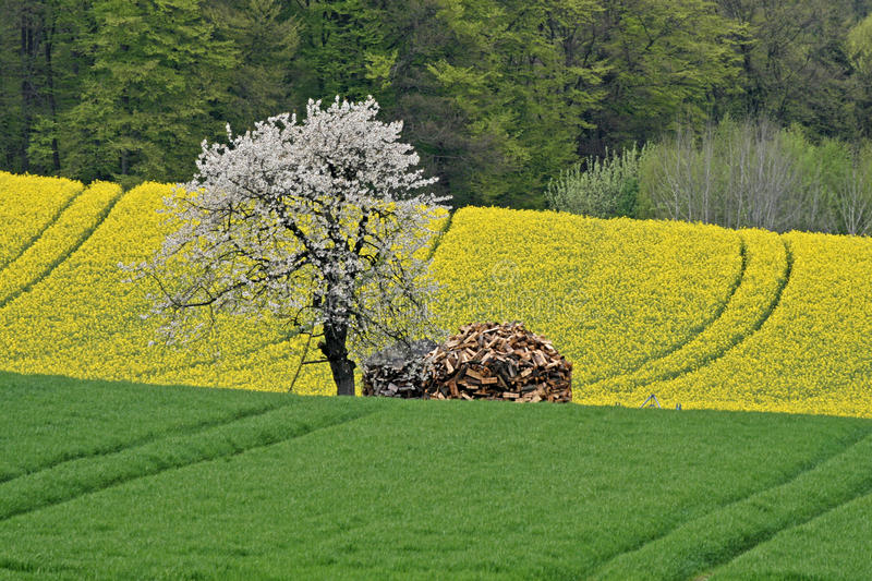 field with cherry tree in Germany royalty free stock photography