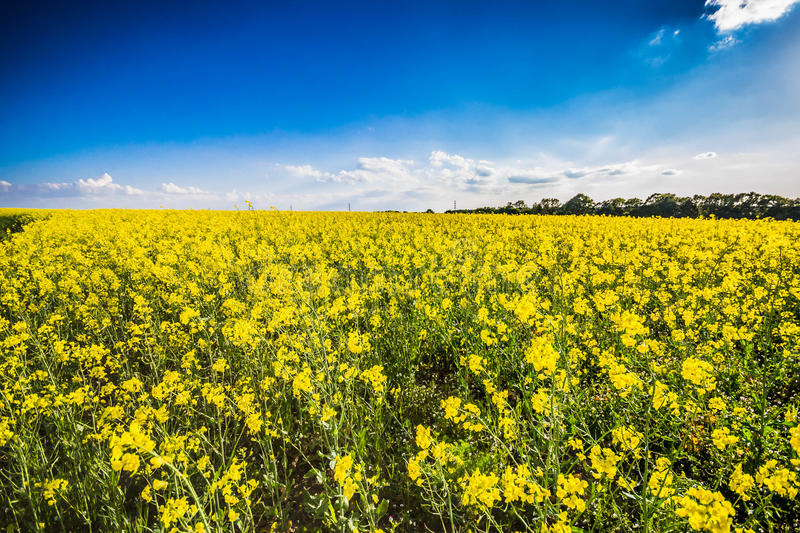 Field. Rapeseed Brassica napus, also known as rape,[1] oilseed rape,[1] rapa, rappi, rapaseed and, in the case of one particular group of cultivars, canola, is a royalty free stock images
