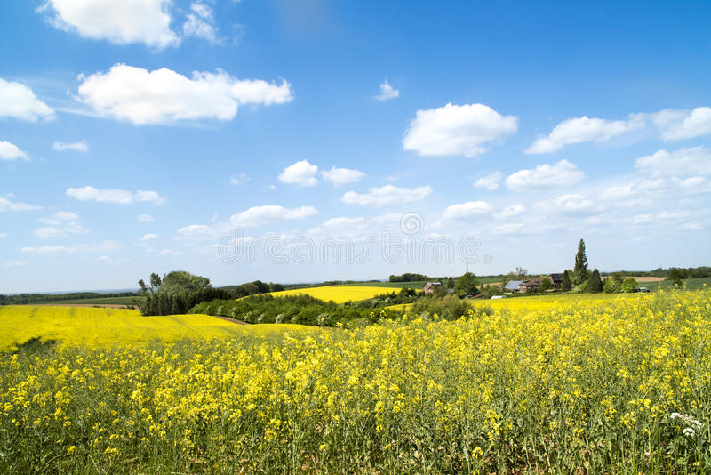 Flowering colza fields, yellow fields in rural landscape stock photography