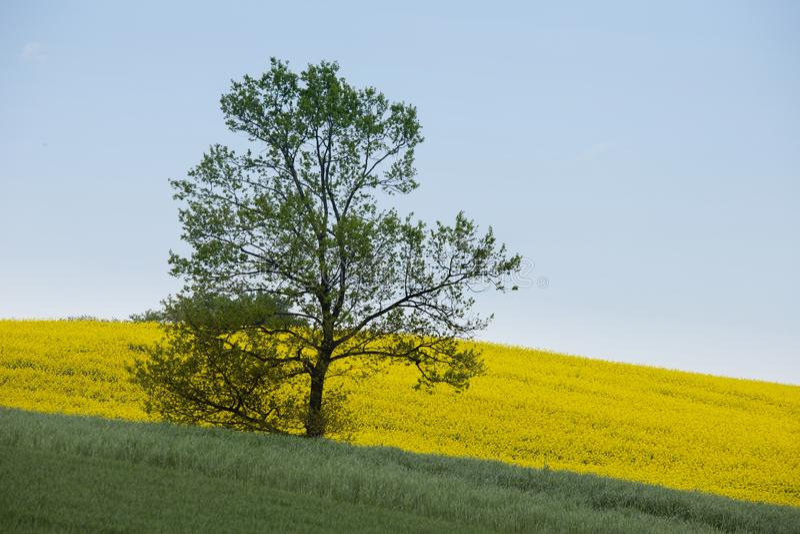 Rape fields and a single tree stock image