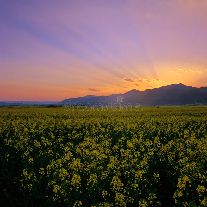 fields at sunset royalty free stock photography