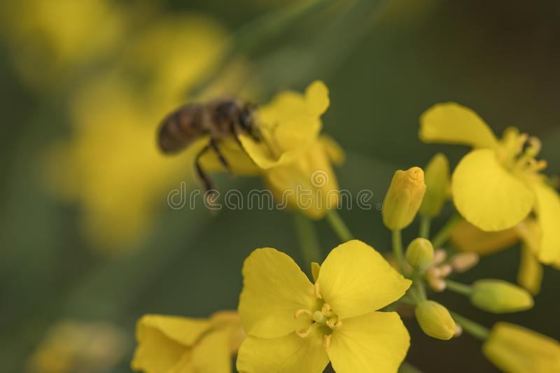 Rape flower and bee.Honey Bee collecting pollen. Yellow field of oilseed rape.Field of yellow flowers stock images