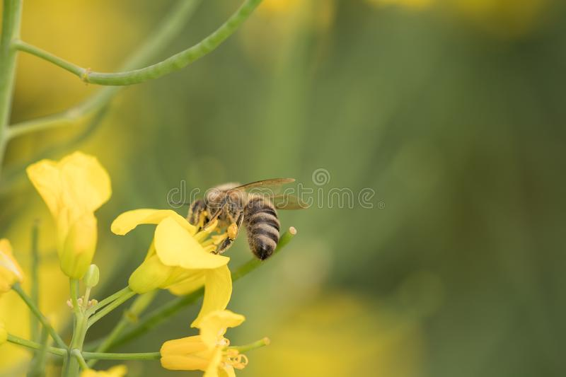Rape flower and bee.Honey Bee collecting pollen. Yellow field of oilseed rape.Field of yellow flowers royalty free stock photos