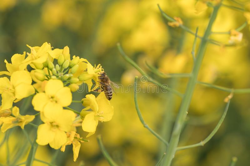 Rape flower and bee.Honey Bee collecting pollen. Yellow field of oilseed rape.Field of yellow flowers royalty free stock photo