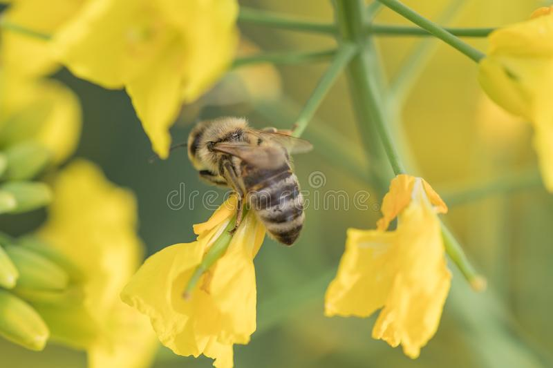 Rape flower and bee.Honey Bee collecting pollen. Yellow field of oilseed rape.Field of yellow flowers royalty free stock photography