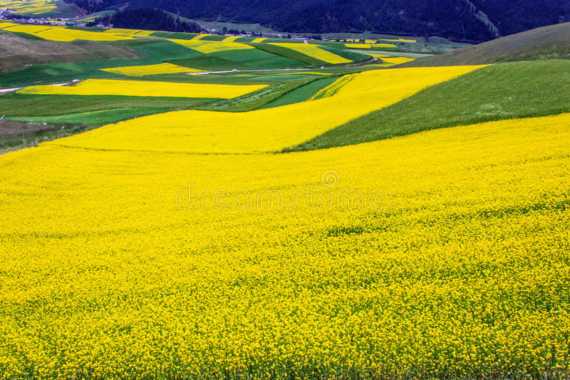 Flower. Qinghai large tracts of royalty free stock photos