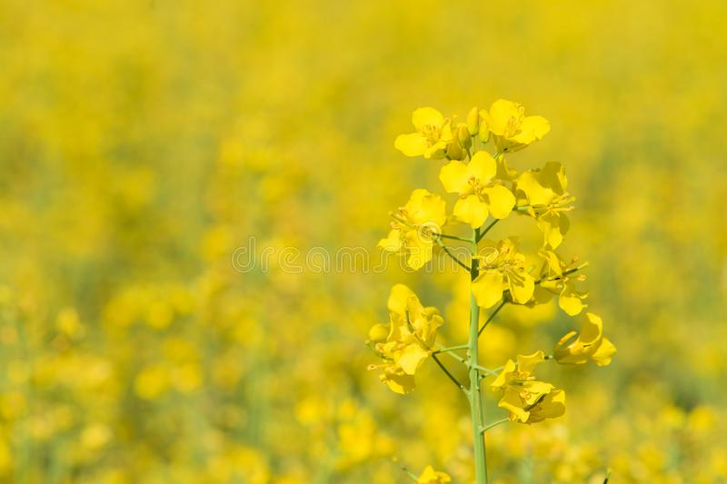 flower on a rapeseed field royalty free stock photo