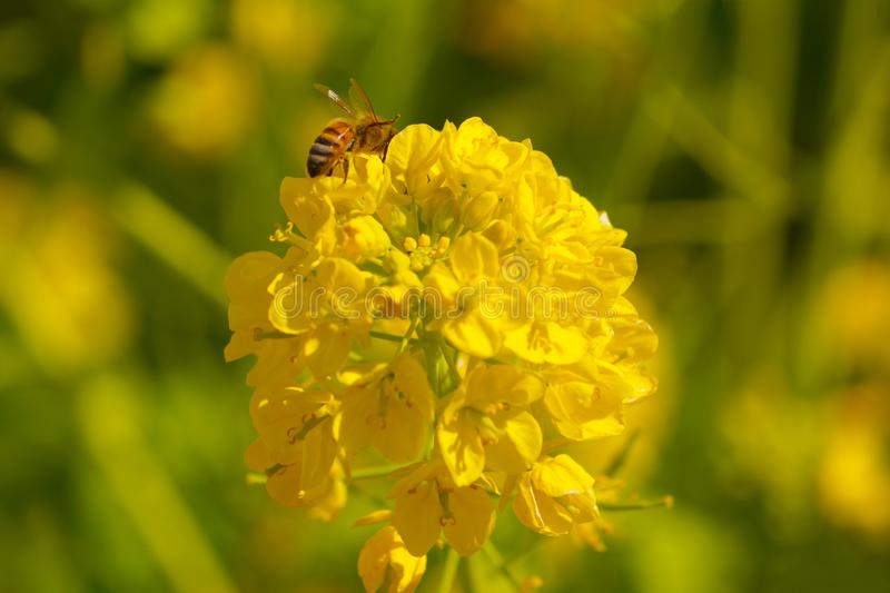 Rape flowers and bees stock photography