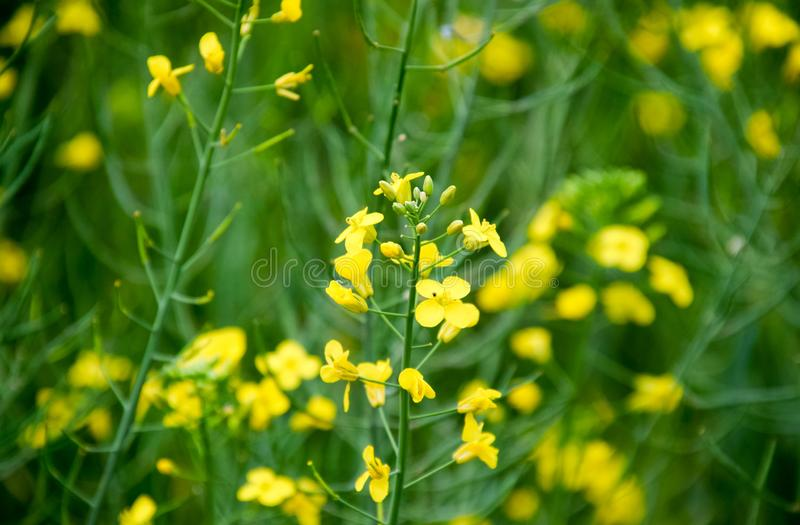 Rape flowers. Macro photo of a flowering canola. Rapeseed field royalty free stock photography