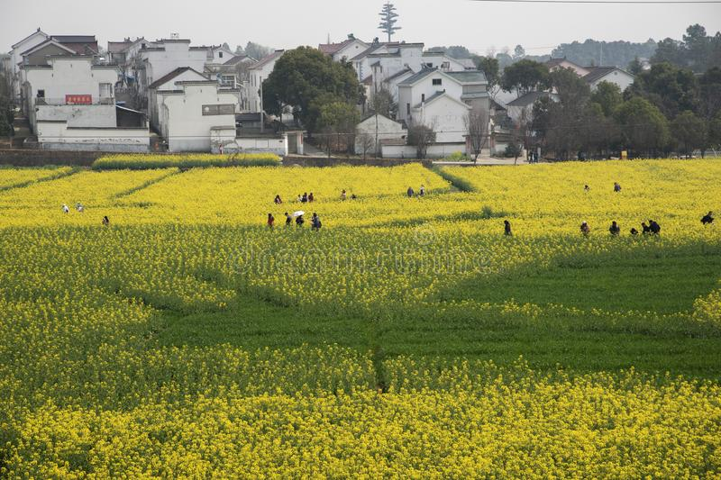 Nanjing yaxi international slow city canola pastoral scenery agricultural. Rape flowers planted by yaxi international slow city, gaochun district, nanjing royalty free stock images