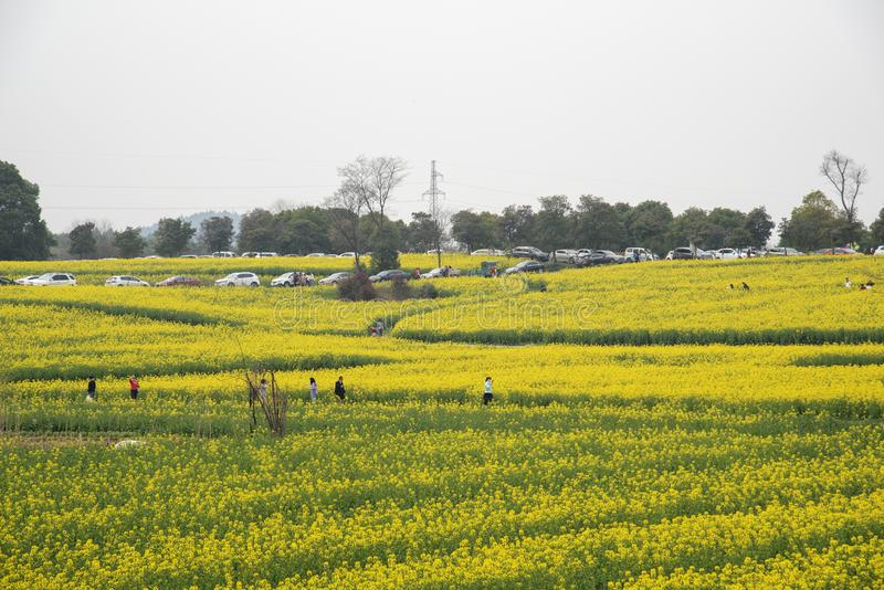 Nanjing yaxi international slow city canola pastoral scenery agricultural. Rape flowers planted by yaxi international slow city, gaochun district, nanjing royalty free stock photography