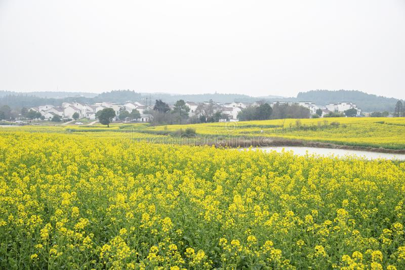 Nanjing yaxi international slow city canola pastoral scenery agricultural. Rape flowers planted by yaxi international slow city, gaochun district, nanjing royalty free stock photos