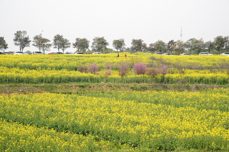 Nanjing yaxi international slow city canola pastoral scenery agricultural. Rape flowers planted by yaxi international slow city, gaochun district, nanjing stock image