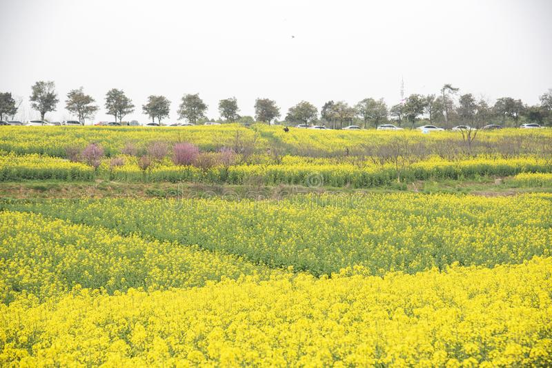 Nanjing yaxi international slow city canola pastoral scenery agricultural. Rape flowers planted by yaxi international slow city, gaochun district, nanjing stock photo