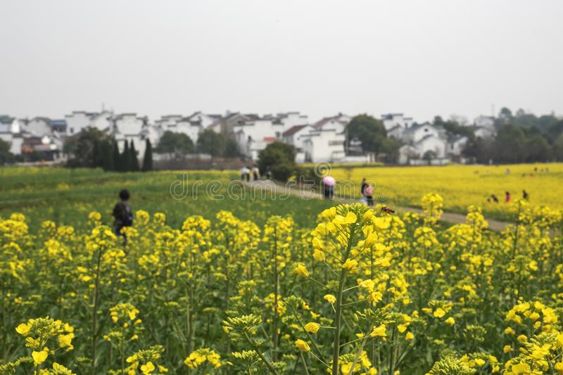 Nanjing yaxi international slow city canola pastoral scenery agricultural. Rape flowers planted by yaxi international slow city, gaochun district, nanjing royalty free stock image