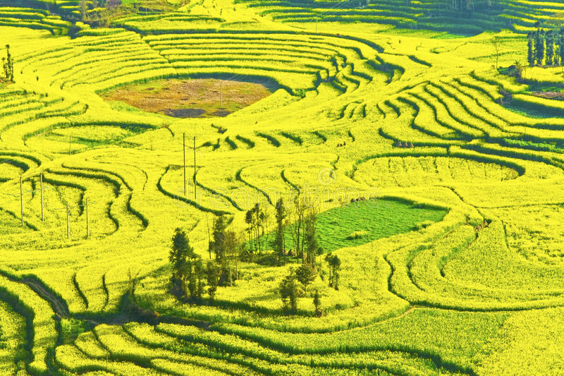 in full bloom in luoping county in yunnan province stock photo