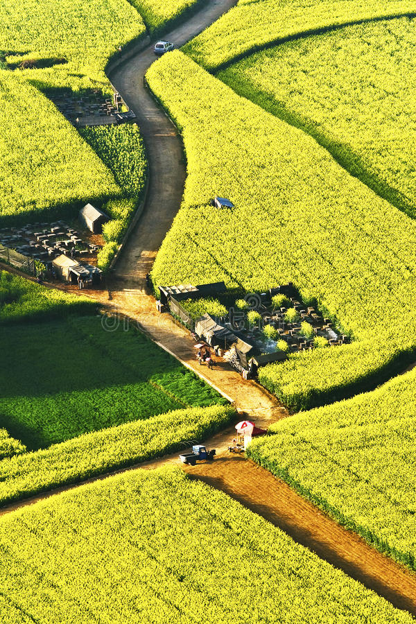 In Full Bloom In Luoping County In Yunnan Province Stock Photos