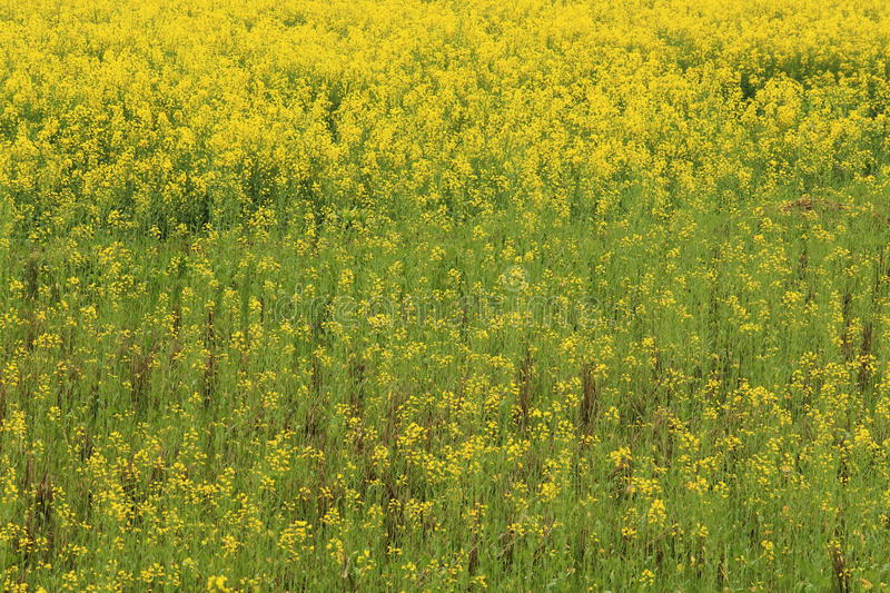 Rape plant flower field