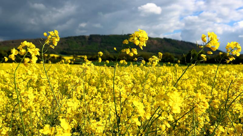 seed field and Wrekin in Shropshire royalty free stock images