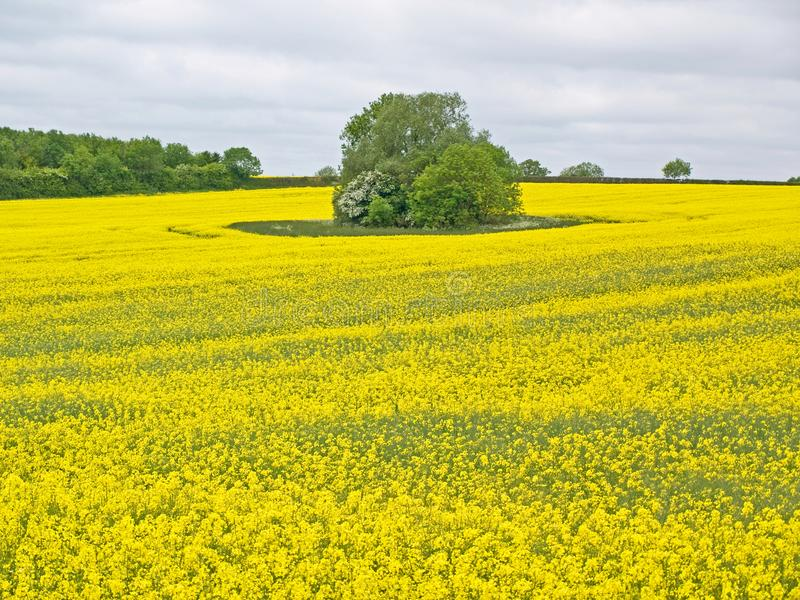 Seed Fields. In Leicestershire England royalty free stock photo