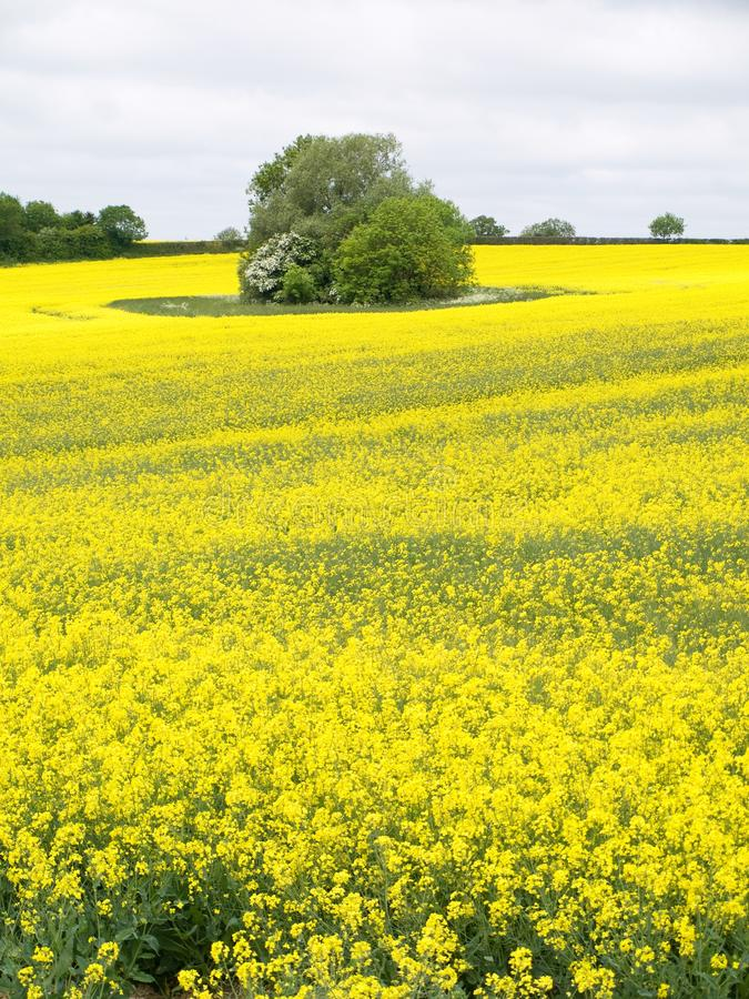 Seed Fields. In Leicestershire England royalty free stock image