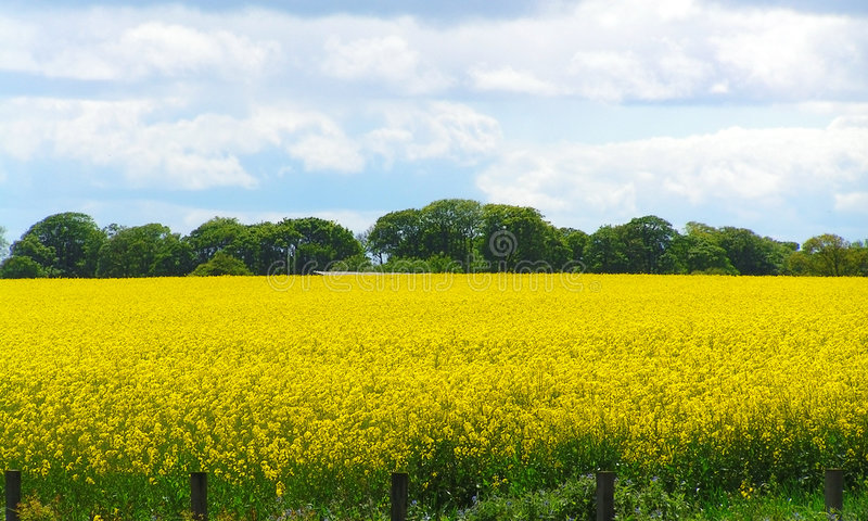 Rapeseed royalty free stock images