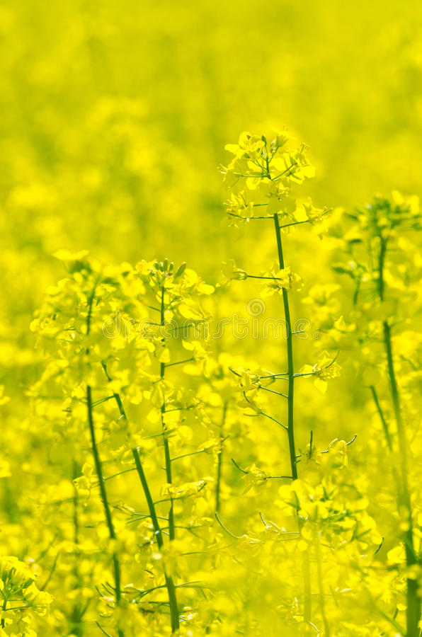 Download Rapeseed stock image. Image of brassica, nature, canola - 25436923