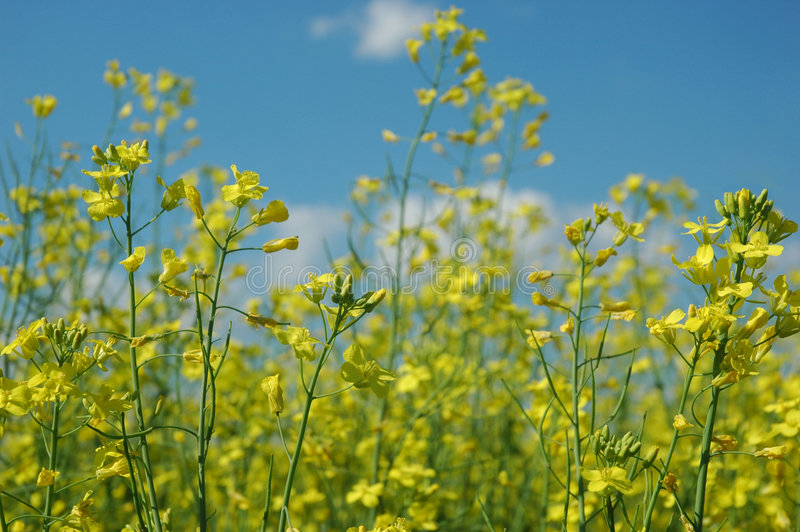Download Rapeseed stock image. Image of biofuel, yellow, fuel, plant - 5738959
