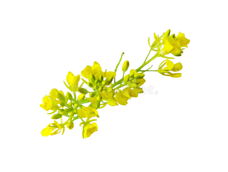 Rapeseed Blossom royalty free stock images