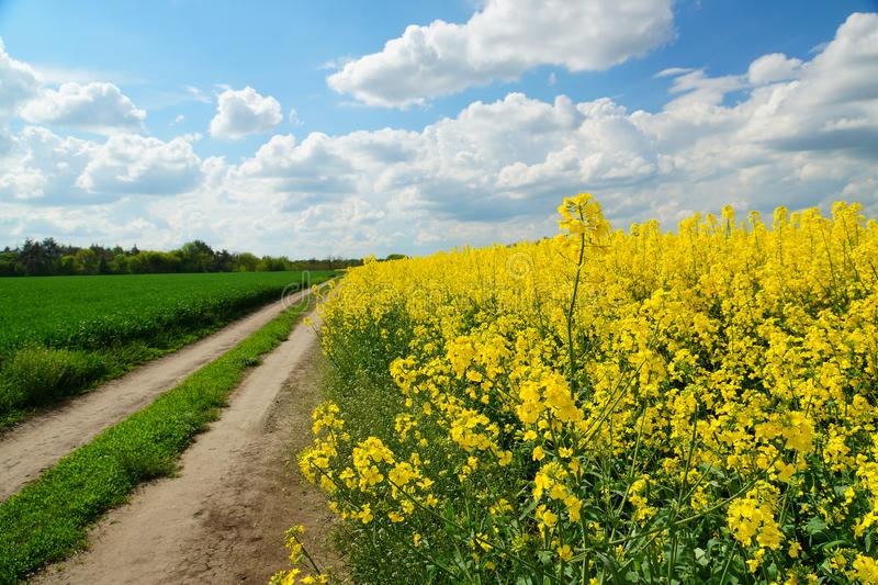 Rapeseed or Brassica napus, also known as rape and oilseed rape is a bright yellow flowering member of the family Brassicaceae,. Rapeseed Brassica napus, also royalty free stock image