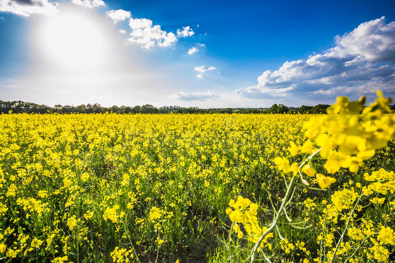 Rapeseed. Brassica napus, also known as rape,[1] oilseed rape,[1] rapa, rappi, rapaseed and, in the case of one particular group of cultivars, canola, is a stock images
