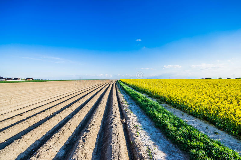 Rapeseed. Brassica napus, also known as rape,[1] oilseed rape,[1] rapa, rappi, rapaseed and, in the case of one particular group of cultivars, canola, is a royalty free stock image