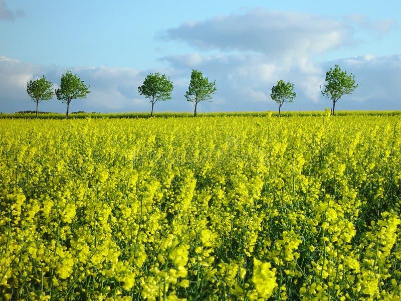 Download Rapeseed field stock photo. Image of plants, yellow, horizon - 4200