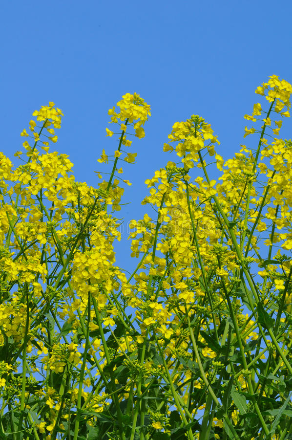 Rapeseed field. From the frog perspective stock photography