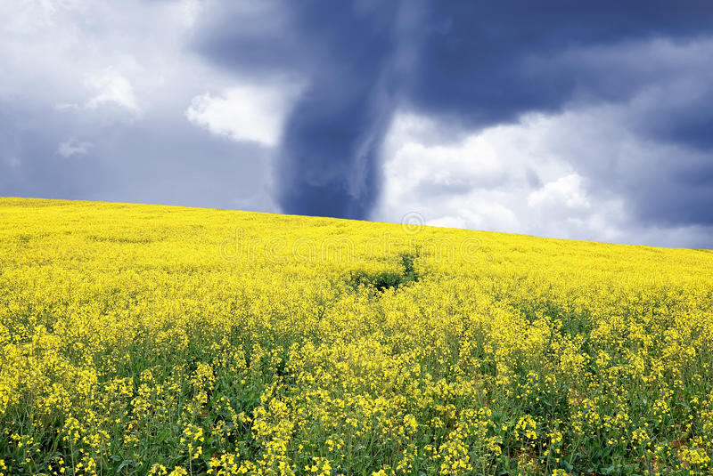 Download Rapeseed field stock photo. Image of nature, outdoor - 24932084