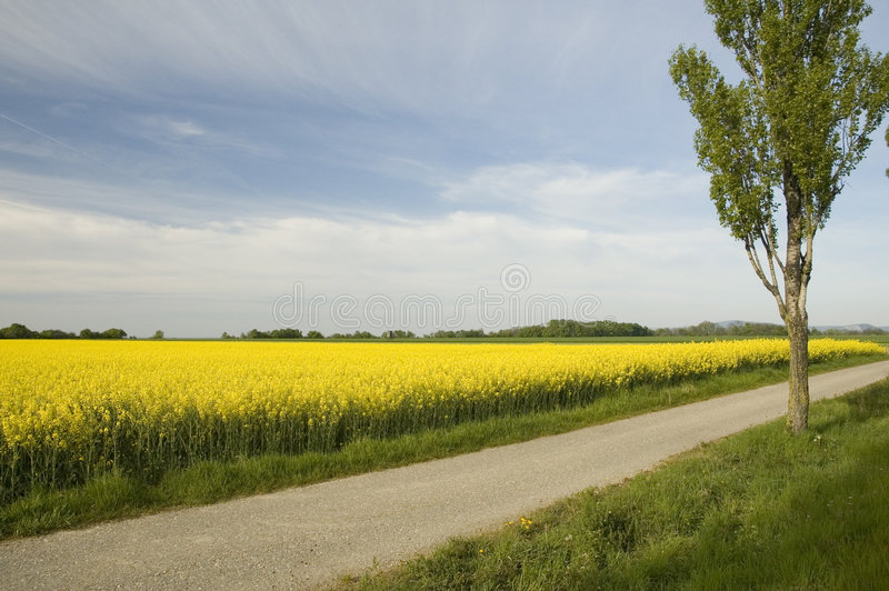 Rapeseed field. Rapeseed oil is used in the manufacture of biodiesel for powering motor vehicles. Biodiesel may be used in pure form in newer engines without stock images