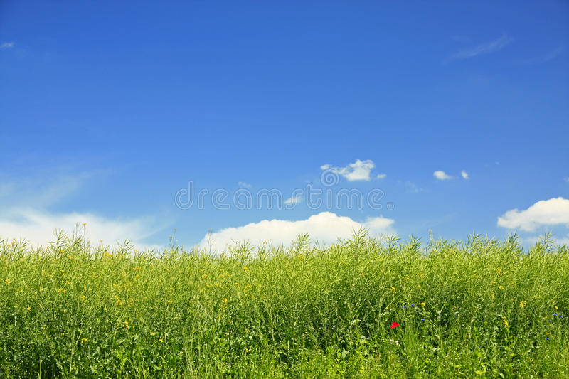 Download Rapeseed Field Royalty Free Stock Images - Image: 25153619