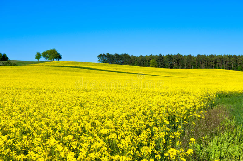 Download Rapeseed field stock photo. Image of horizon, spring - 25497650
