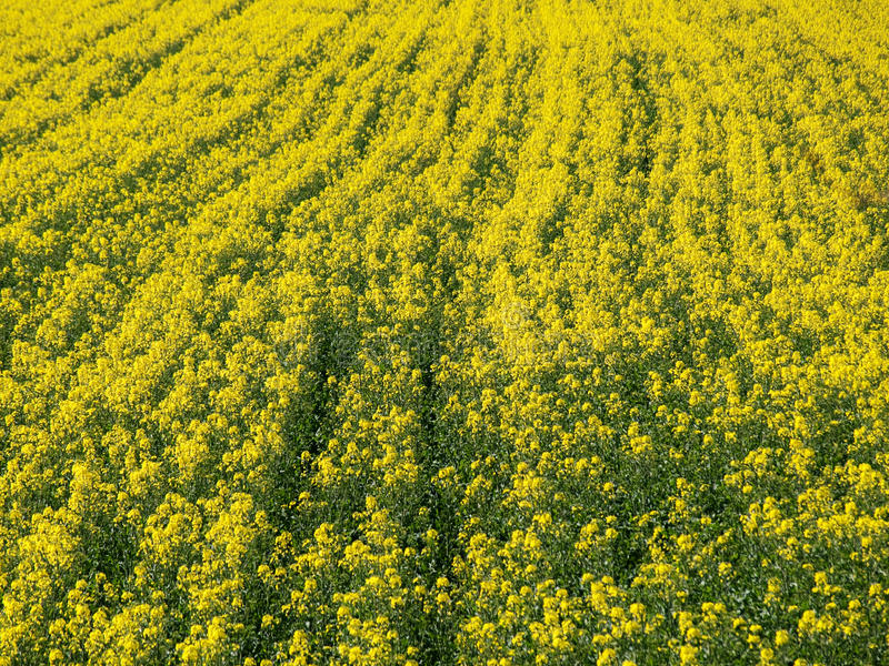 Download Rapeseed field background stock photo. Image of colza - 13862980