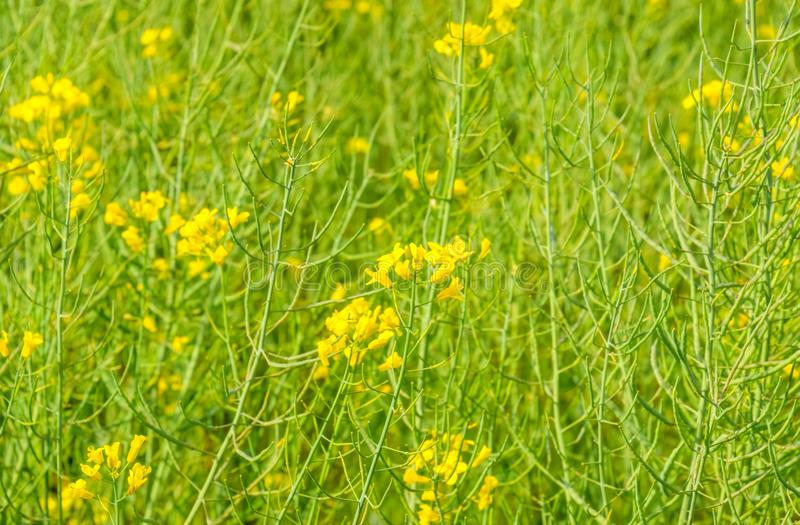 Rapeseed field. Background of rape blossoms. Flowering rape on the. Field stock photos