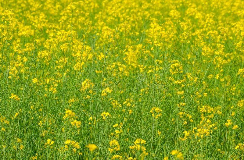 Rapeseed field. Background of rape blossoms. Flowering rape on the. Field royalty free stock photography
