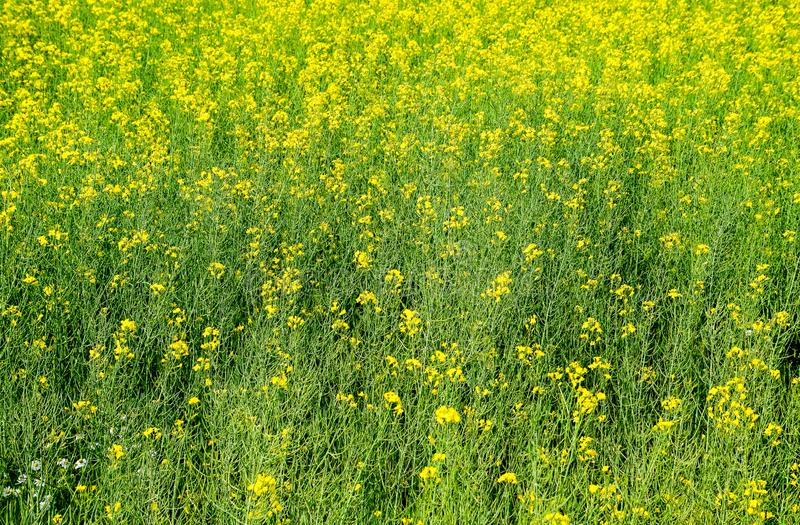 Rapeseed field. Background of rape blossoms. Flowering rape on the. Field stock images