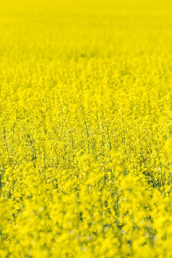 Rapeseed field, Blooming canola flowers. Flowering Bright Yellow Rape in summer. Flowering rape. Flowering Bright Yellow Rape in summer stock photo