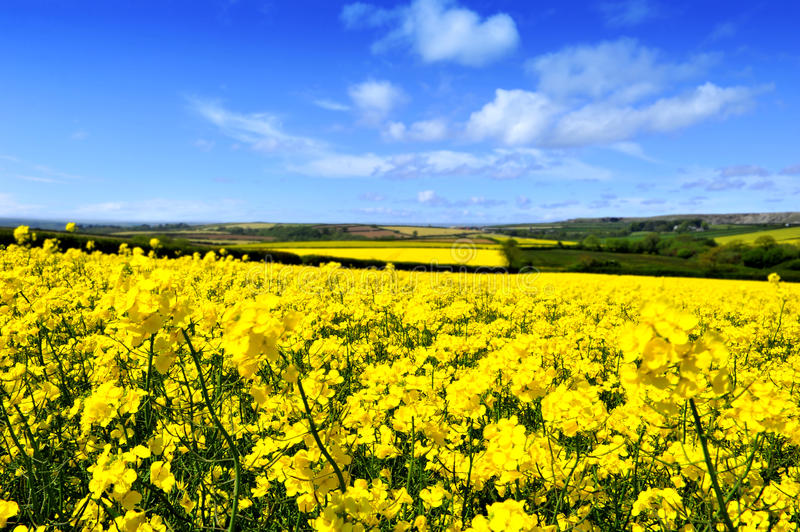 Rapeseed Field. Bright yellow canola or rapeseed field in bloom against blue sky and white clouds in Cornwall royalty free stock photography