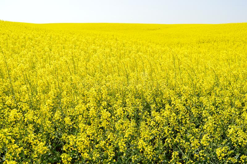 Rapeseed Field. A canola (rapeseed) field in full bloom royalty free stock photo